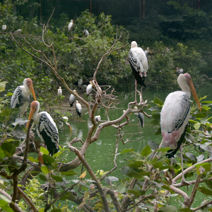 Group of painted Stork sitting on branches of tree, Free 4K images
