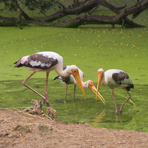 Group of painted stork wading in shallow water