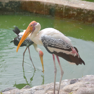 Painted stork (Mycteria leucocephala, Ibis leucocephalus), portrait, Free 4K Stock Images,