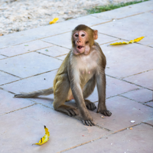 Closeup of Baby of macaque monkey in the temple eating fruits