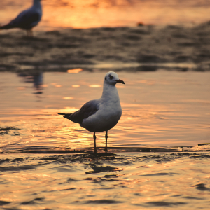 Stock Image of Seagull Bird beside the sore of the sea in the sunset