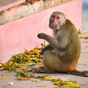 Monkey Eating Leaves sitting near the wall royalty free stock image