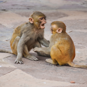 Two Cute Macaque Monkey Baby Fighting Stock Image