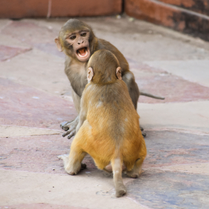 Cute Monkeys Play fight royalty free stock image